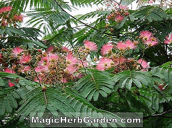 Albizia julibrissin (Alba Silk Tree)
