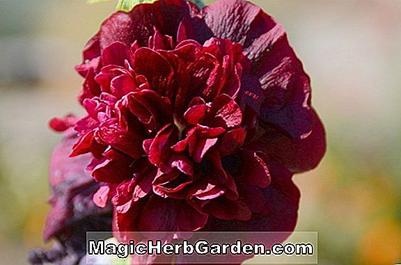 Alcea rosea (Chater's Double Hollyhock)