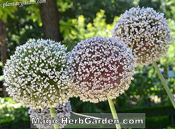 Allium porrum (London Flag Leek)