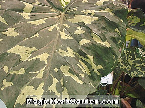 Alocasia amazonica (Hilo Beauty Elephant's Ear)