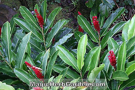 Planter: Alpinia purpurata (Red Ginger)