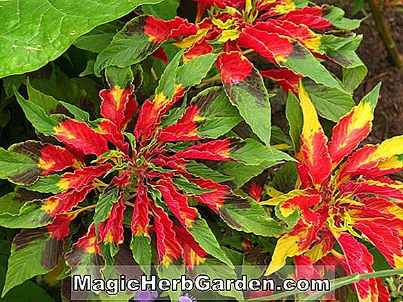 Amaranthus tricolor (Flaming Fountains Tampala)