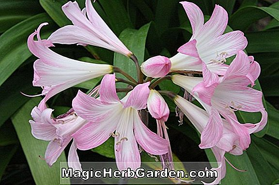 Planter: Amaryllis belladonna (Hathor Naked Ladies)