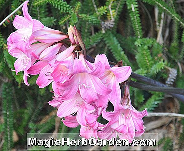 Amaryllis belladonna (Kimberley Naked Ladies)