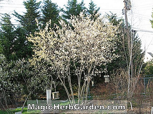 Amelanchier grandiflora (Apple Serviceberry)