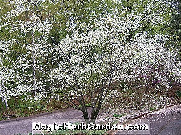 Amelanchier grandiflora (Robin Hill Apple Serviceberry)