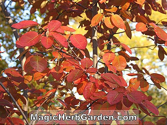 Amelanchier grandiflora (Strata Apple Serviceberry)