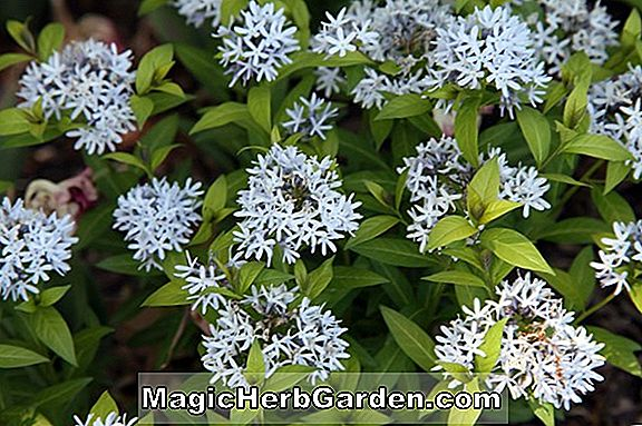 Amsonia tabernaemontana (Willow Blue Star)