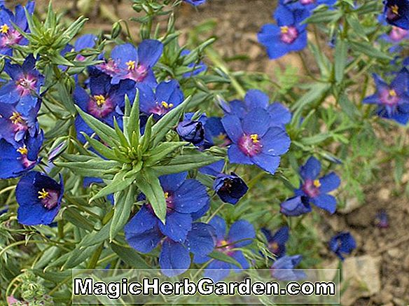 Planter: Anagalis monelli (Blue Pimpernel)