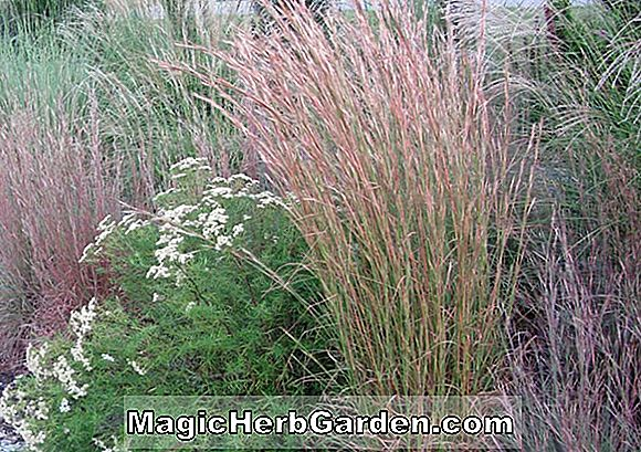 Andropogon virginicus (Beard Grass)