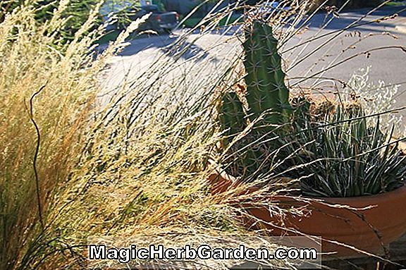 Planter: Anemanthele lessoniana (New Zealand Wind Grass)