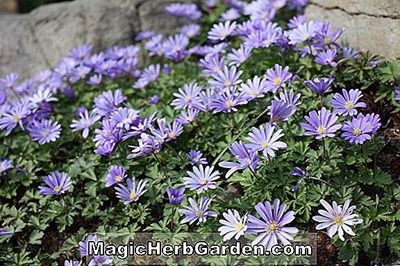 Anemone blanda (Ingramii Windflower)