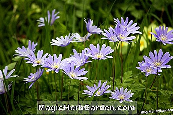 Anemone blanda (White Splendor Windflower)
