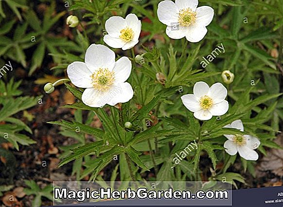 Anemone canadensis (Windflower)