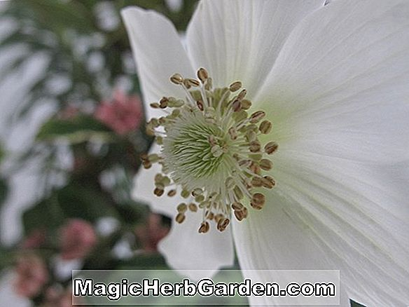 Anemone coronaria (The Bride Poppy Anemone)