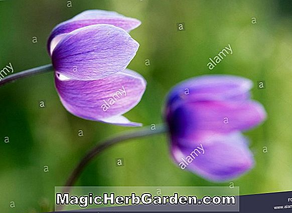 Planter: Anemone coronaria (St. Brigid Group of Poppy Anemones)