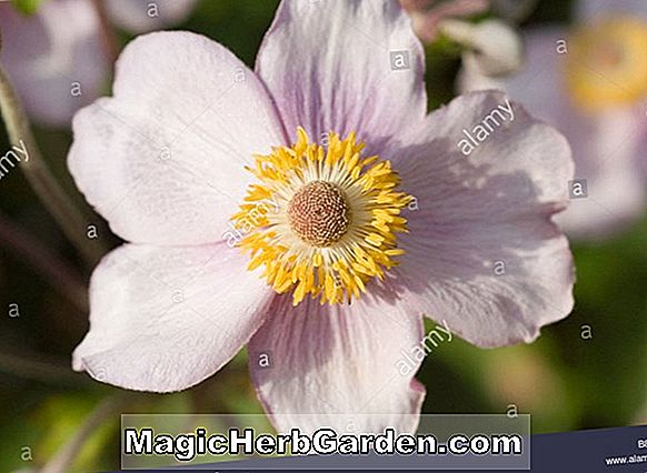 Anemone vitifolia (Grape-Leaved Anemone)