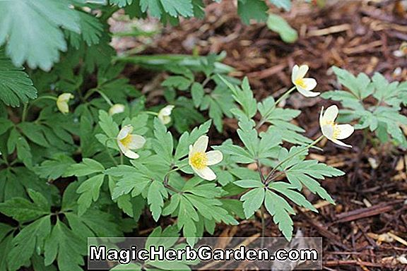 Anemone x lipsiensis (Windflower)