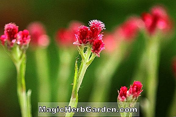 Antennaria dioica (Rosea Cat's Ears)