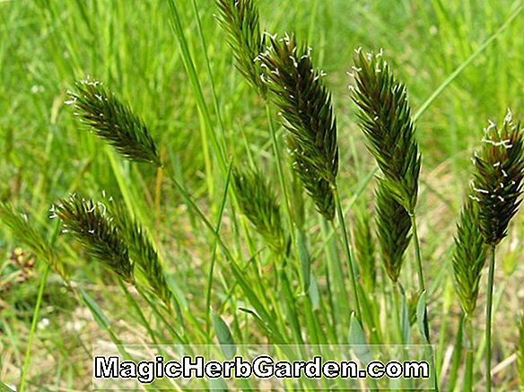Anthoxanthum odoratum (Sweet Vernal Grass)