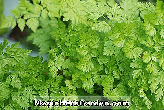Planter: Anthriscus cerefolium (Chervil)