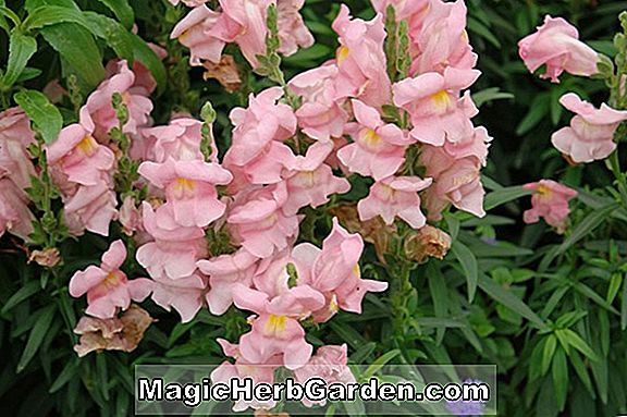 Planter: Antirrhinum majus (Kingston Snapdragon)