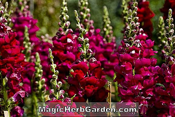 Antirrhinum majus (Liberty Series Snapdragons)