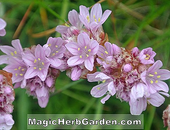 Planter: Armeria maritima (Sea Thrift)