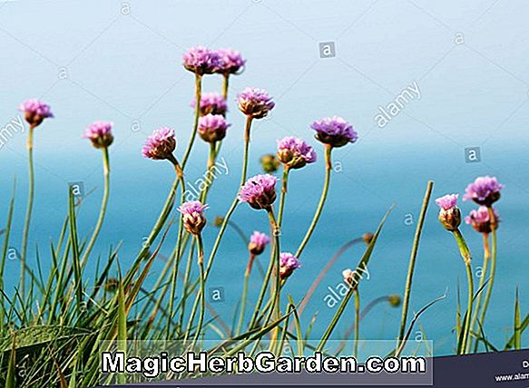Armeria maritima (Red Sea Sparsommelighed)