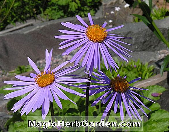 Aster tongolensis (Ostindische Aster)