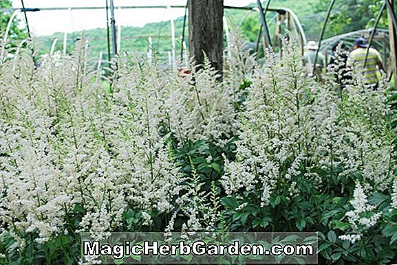 Planter: Astilbe arendsii (False Spiraea)