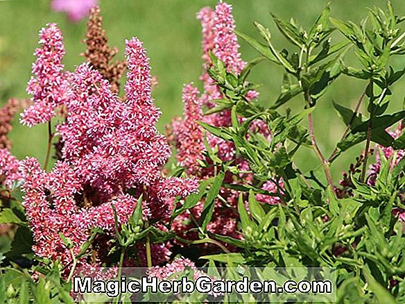 Plantes: Astilbe japonica (Fausse Spiraea)