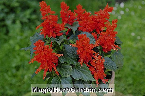 Planter: Begonia (Everest Begonia)