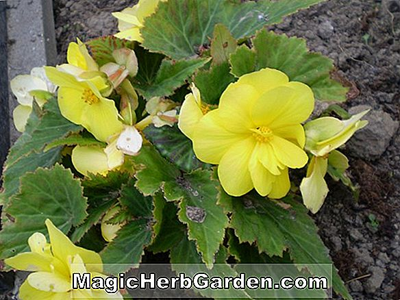 Planter: Begonia Shirtsleeves (Shirtsleeves Begonia)