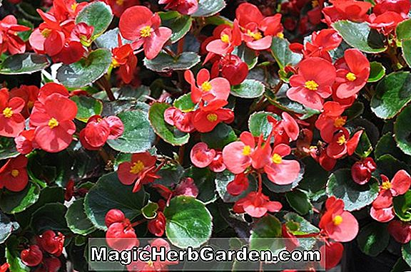 Begonia Cocktail Rose (Cocktail Rose Begonia)