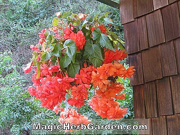 Begonia Andy (Andy Begonia)