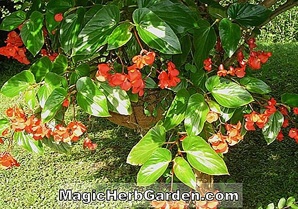 Planter: Begonia Angel Wing (Torch Angel Wing Begonia)