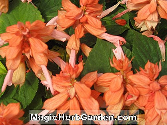 Begonia Annie Laurie (Annie Laurie Begonia)
