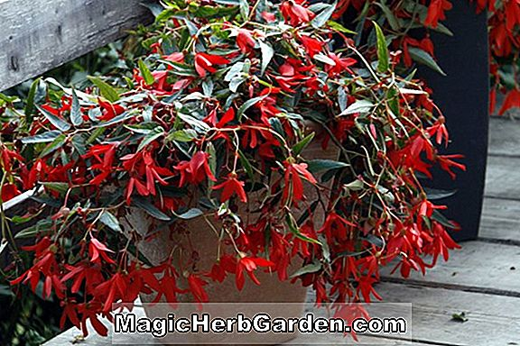 Planter: Begonia Ball Red (Ball Red Begonia)
