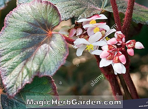 Begonia bettinae (Bettinae Begonia)