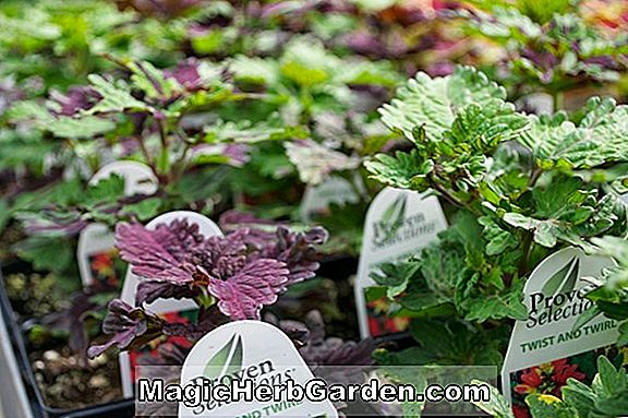 Planter: Begonia Bewitched (Bewitched Begonia)