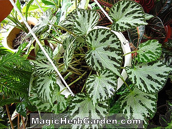 Planter: Begonia Black Jewel (Black Jewel Begonia) - #2