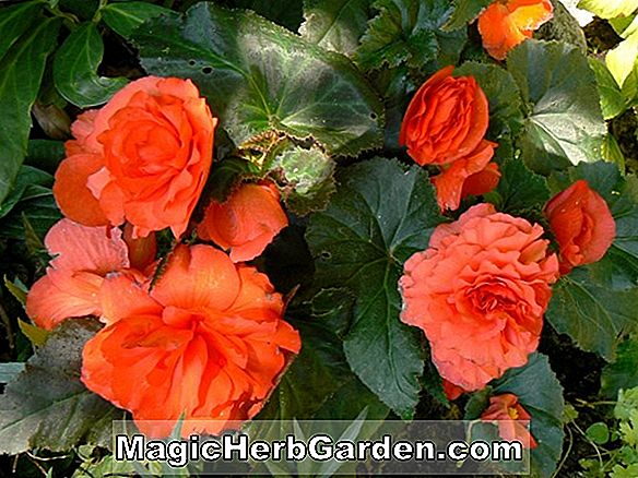 Begonia Edith Howard (Edith Howard Begonia)