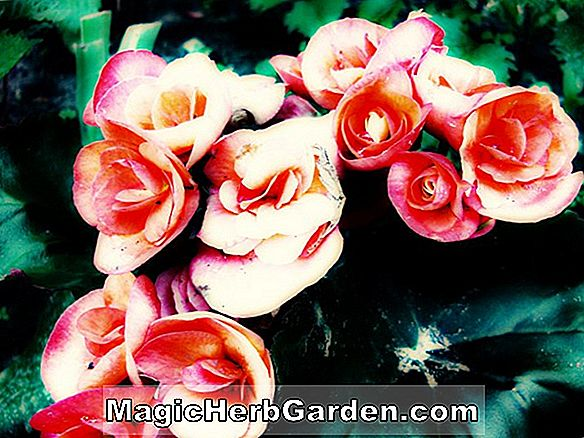 Begonia Black Watch (Black Watch Begonia)