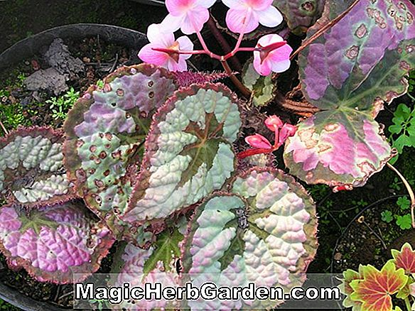 Begonia Can-Can (Can-Can Begonia)