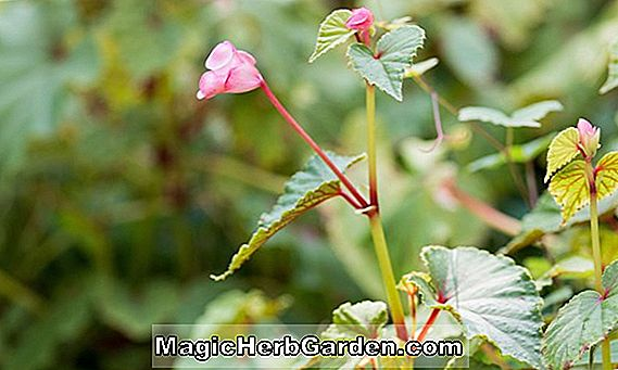 Planter: Begonia Chantilly Lace (Chantilly Lace Begonia)