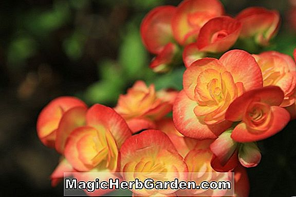 Begonia Childs Spotted (Child's Spotted Begonia) - #2