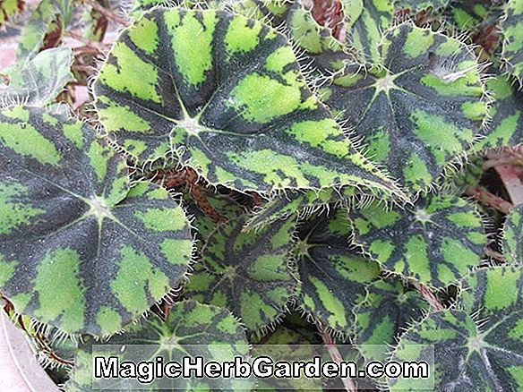 Begonia China Doll (Kina Doll Begonia)
