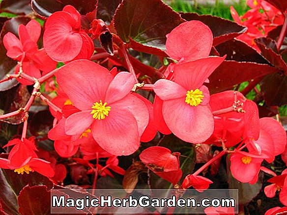 Begonia Cocktail Scarlet (Cocktail Scarlet Begonia) - #2