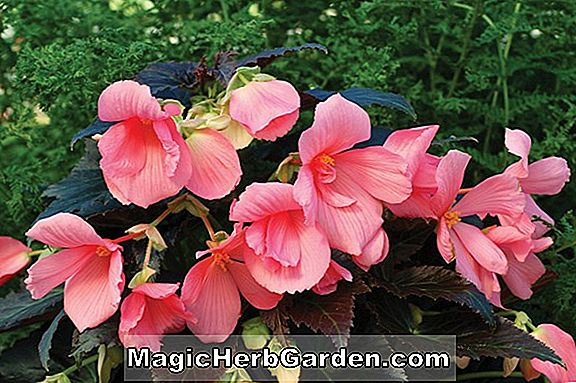 Planter: Begonia Cocoa Star (Cocoa Star Begonia)